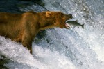 bear_eating_fish