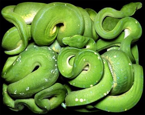 big-green-snake-500x395