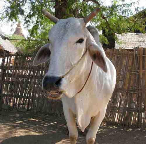 Ox-Bagan