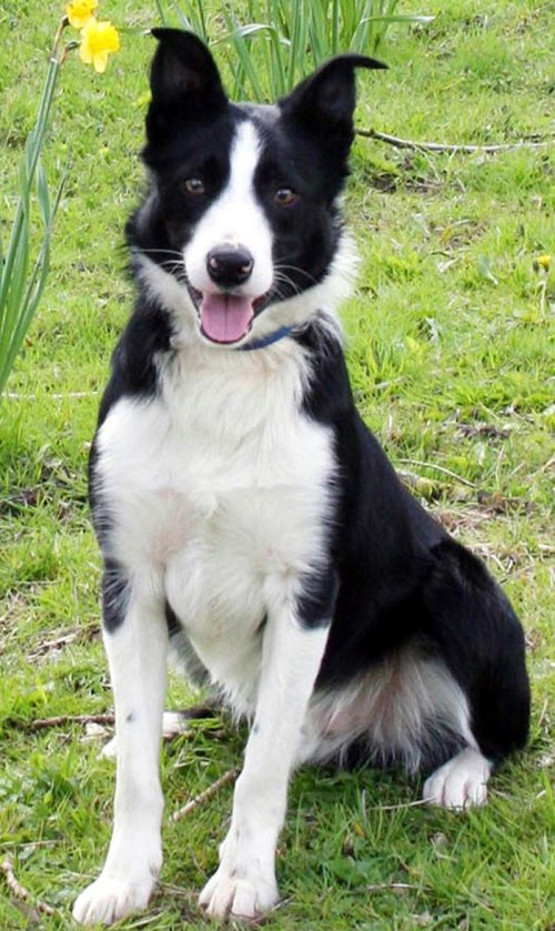 Bob, World's Most Expensive Sheepdog again Comes from Skipton, U.K.