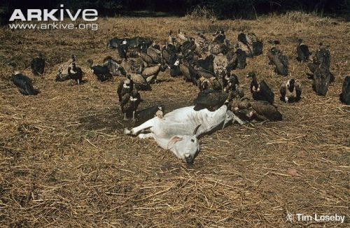 Indian-vultures-with-white-backed-vultures-around-cow-carcass