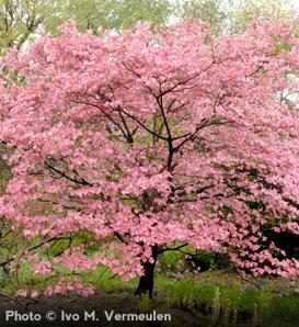 Pink-Dogwood_1