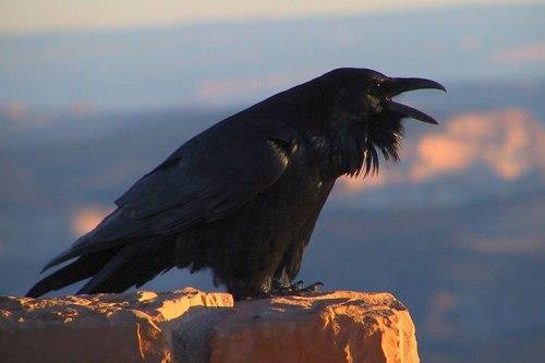 common_raven_calling_nps