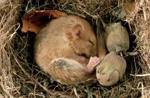 Dormouse Sleeping in Nest
