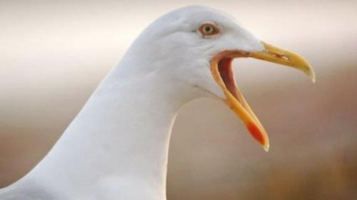 _seagull