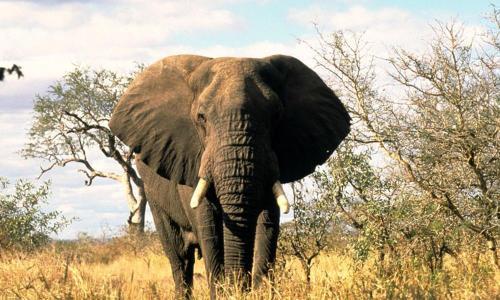 African-Elephant_08.23.2012_Help