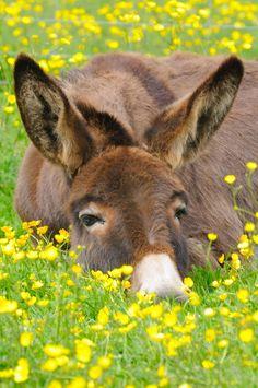 dozing donkey