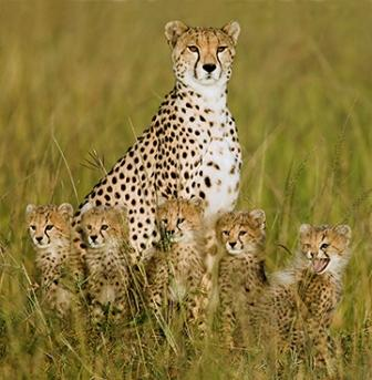 cheetah_family
