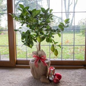 christmas-lemon-tree