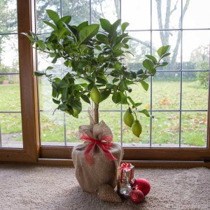 christmas-lemon-tree