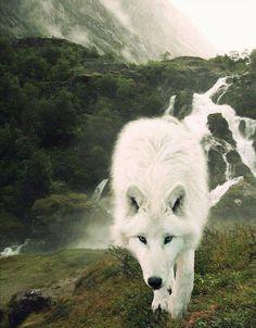 white wolf62e3ef8417b4ed8945e792ee38ca039