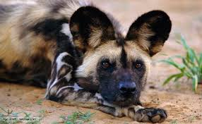 wild dogdownload (4)