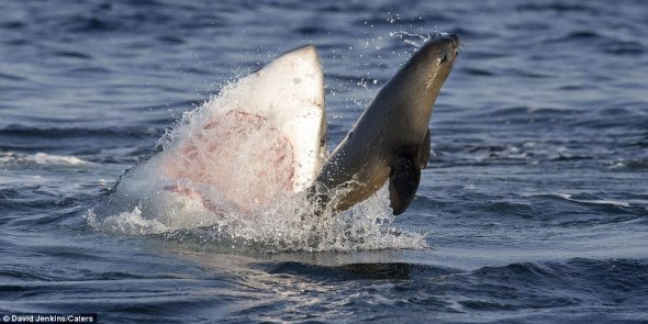 shark and sealrticle-2449505-1899C1BB00000578-188_964x483