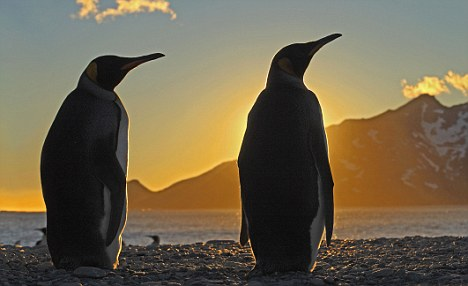 Programme Name: Frozen Planet - TX: 02/11/2011 - Episode: Frozen Planet 2 Spring (No. 2) - Embargoed for publication until: 18/10/2011 - Picture Shows: King penguins silhouetted at dawn, South Georgia. The King Penguin is the second largest species of penguin, weighing up to 35lbs. They eat small fish - mainly lanternfish and squid, and repeatedly dive to more than 100 metres to find lunch. There are an estimated 2.23million pairs of King Penguins with numbers increasing. Our crew spent a month with them and although this picture looks serene, the noise was deafening. - (C) Ian McCarthy - Photographer: Ian McCarthy