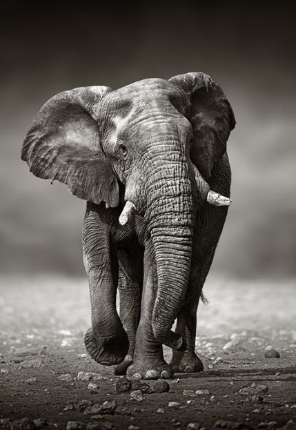 African Elephant (Loxodonta Africana) approach from the front -  Etosha National Park (Namibia)