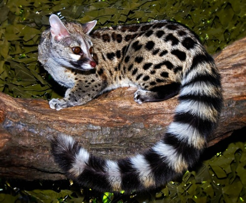 Small-Spotted-Genet