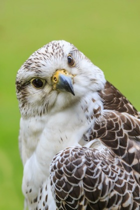 smaller-curious-gyrfalcon1
