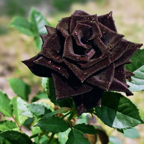 150-pcs-china-rare-black-rose-flowers-rare-amazingly-beautiful-black-rose-seeds-a-popular-garden