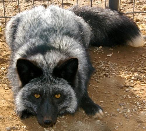 silver-fox3f8cccd706961c753572f12e6d713d7