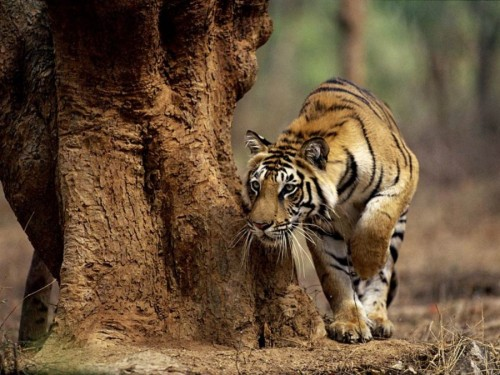 """I know, I know - the tiger doesn't speak but the paw speak's volumes!"""