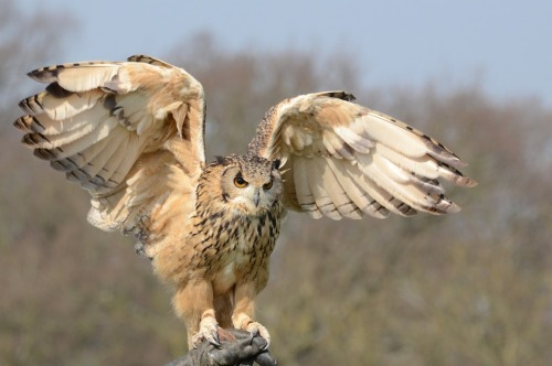 snowy-owl-981653_960_720