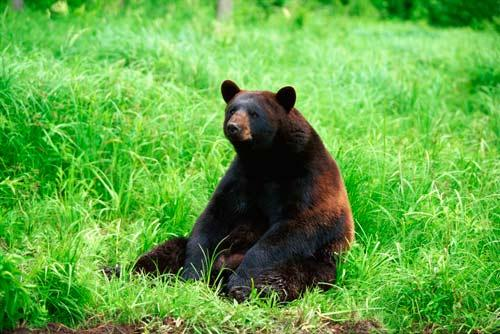 black_bear2